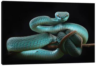 Trimeresurus Insularis [Blue] Canvas Art Print