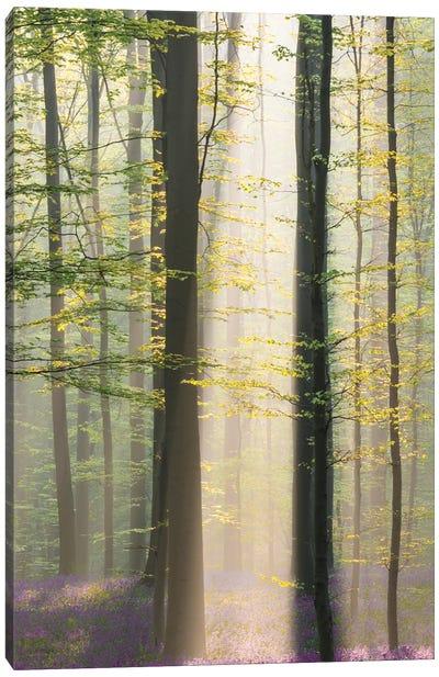 Misty Sunrise In Hallerbos Canvas Art Print