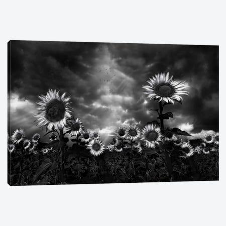 Sunflowers Canvas Print #OXM5566} by Fran Osuna Canvas Print