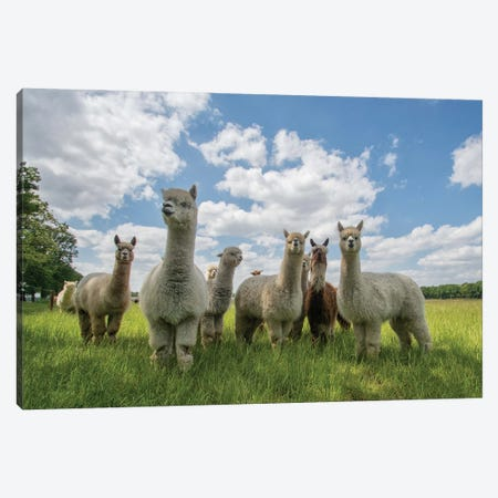Send In The Alpaca's! Canvas Print #OXM5571} by Gert van den Bosch Art Print
