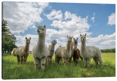 Send In The Alpaca's! Canvas Art Print