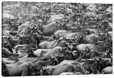 Wildbeests Canvas Art Print