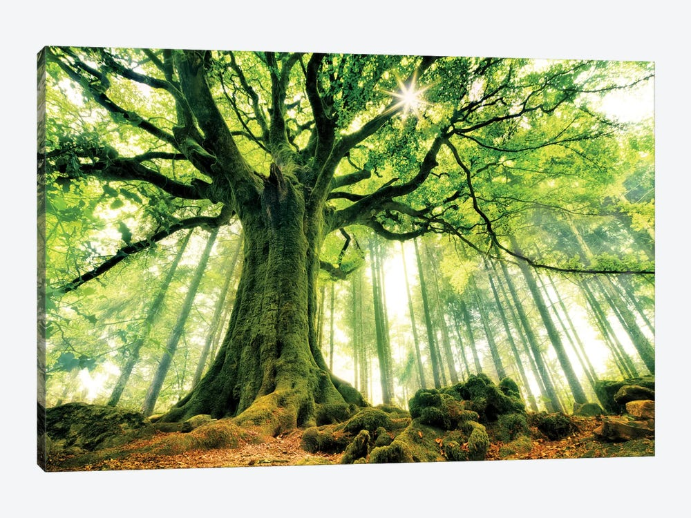 Ponthus' Beech by Christophe Kiciak 1-piece Canvas Wall Art