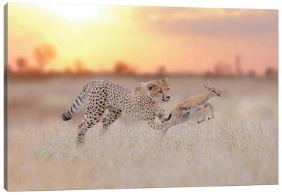 Cheetah Hunting A Gazelle Canvas Art Print