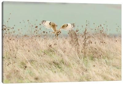 Hunting Short Eared Owl Canvas Art Print