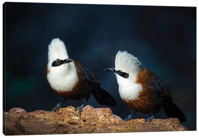 White-Crested Laughingthrush Canvas Art Print