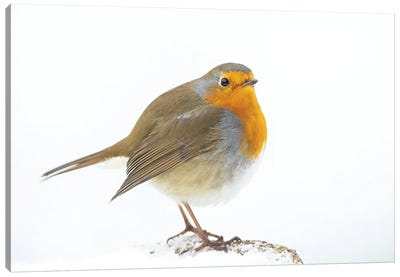 Robin In Winter Canvas Art Print