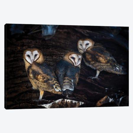 Baby Barn Owls Canvas Print #OXM5816} by Annie Poreider Canvas Art Print