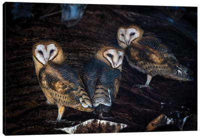 Baby Barn Owls Canvas Art Print