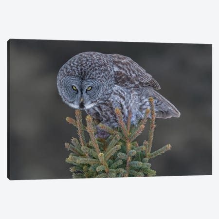 Great Gray Owl Canvas Print #OXM5834} by Bo Wang Art Print