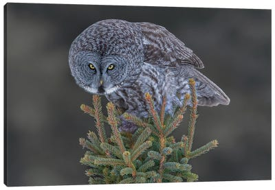Great Gray Owl Canvas Art Print