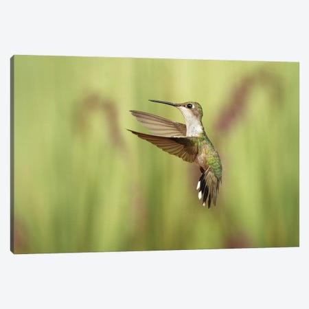 Just Humming Around Canvas Print #OXM5854} by Christopher Schlaf Canvas Print