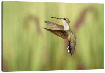 Just Humming Around Canvas Art Print