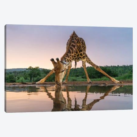 Sunset Giraffe Drinking Canvas Print #OXM5883} by Francoisventer Canvas Print
