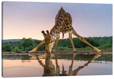 Sunset Giraffe Drinking Canvas Art Print