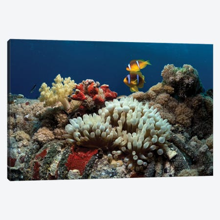 Anemone And Anemonefish Canvas Print #OXM5914} by Ilan Ben Tov Canvas Art