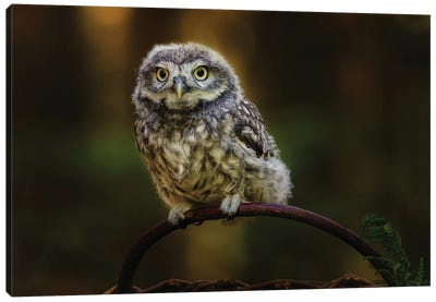 Small Screech Owl Canvas Art Print