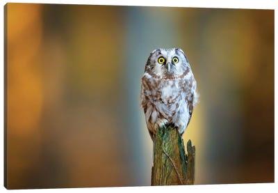 Boreal Owl Canvas Art Print