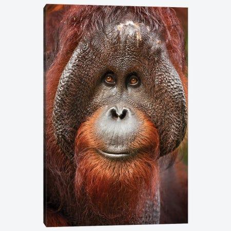 Bornean Orangutan Canvas Print #OXM6025} by Milan Zygmunt Canvas Art