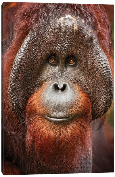 Bornean Orangutan Canvas Art Print