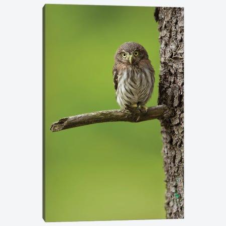 Eurasian Pygmy Owl Canvas Print #OXM6026} by Milan Zygmunt Canvas Wall Art