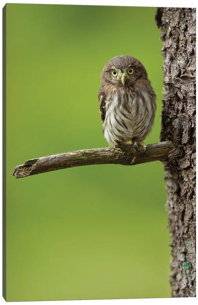 Eurasian Pygmy Owl Canvas Art Print
