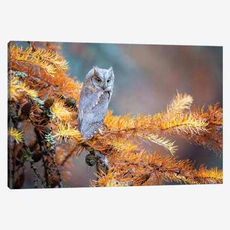 Eurasian Scops Owl Canvas Print #OXM6027} by Milan Zygmunt Canvas Wall Art