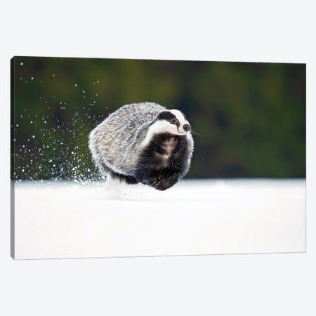 European Badger Canvas Print #OXM6028} by Milan Zygmunt Canvas Print