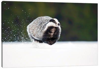 European Badger Canvas Art Print