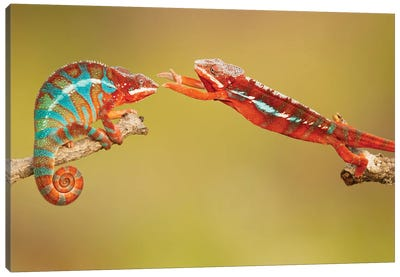 Panther Chameleons Canvas Art Print