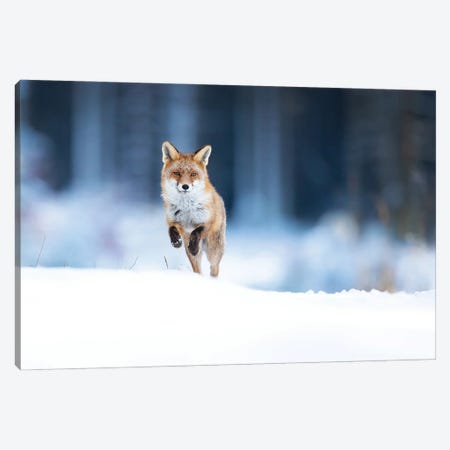 Red Fox Canvas Print #OXM6031} by Milan Zygmunt Canvas Art