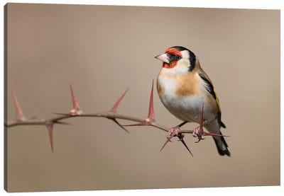 Goldfinch Canvas Art Print