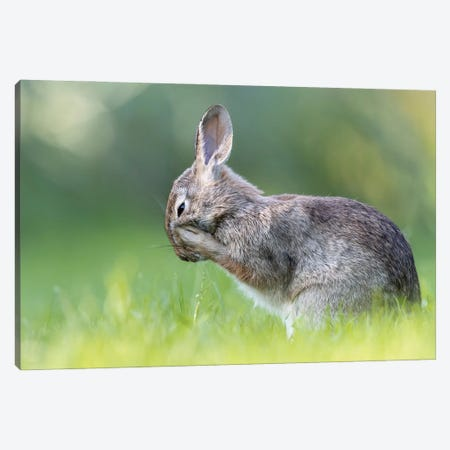Little Hare Canvas Print #OXM6049} by Paolo Bolla Canvas Art Print