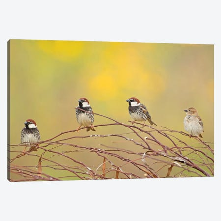 The 4 Sparrows Canvas Print #OXM6103} by Shlomo Waldmann Canvas Art