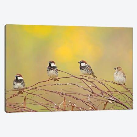 The 4 Sparrows Canvas Print #OXM6103} by Shlomo Waldmann Canvas Art