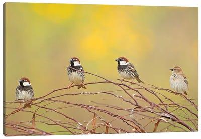 The 4 Sparrows Canvas Art Print