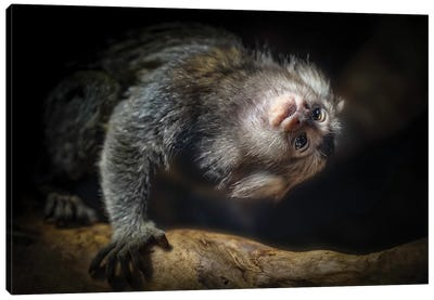 Common Marmoset Canvas Art Print
