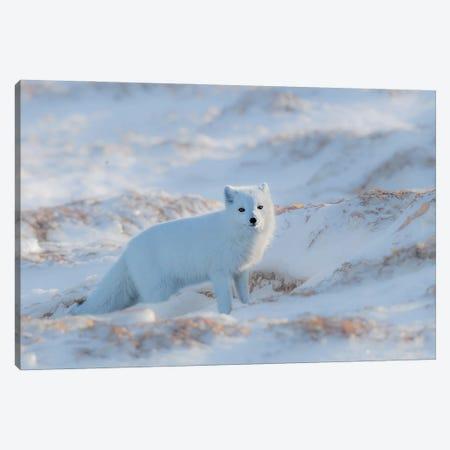 Arctic Fox Canvas Print #OXM6282} by Jie Fischer Canvas Print