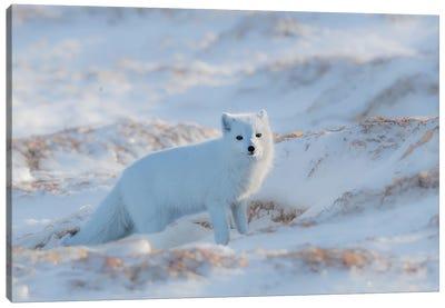 Arctic Fox Canvas Art Print