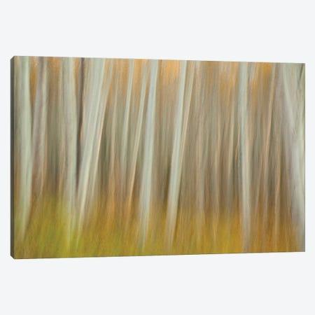 Aspen Blur Canvas Print #OXM6308} by Linda D Lester Canvas Art
