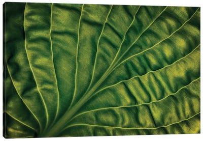 Leaf Of A Hosta Canvas Art Print