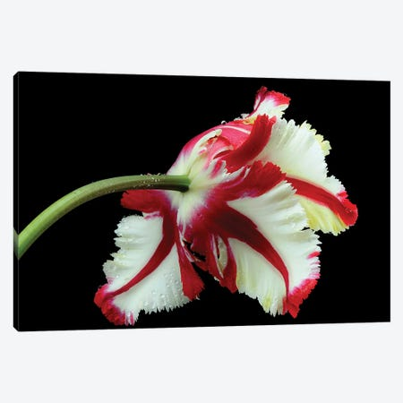 Tulipa Flaming Parrot Canvas Print #OXM6314} by Lotte Gronkjar Canvas Wall Art