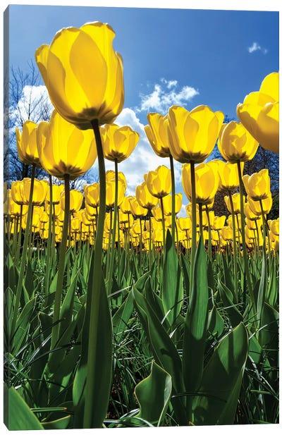 Tulipani Canvas Art Print