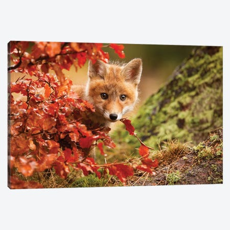 Fox Canvas Print #OXM942} by Robert Adamec Art Print