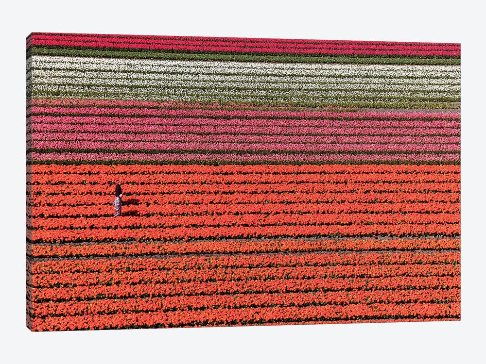 Aerial view of the tulip fields in North Holland, Netherlands by Peter Adams 1-piece Canvas Artwork