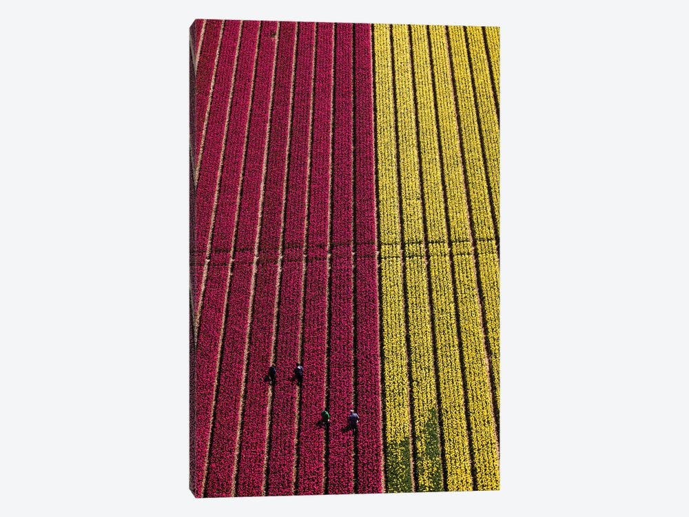 Aerial view of the tulip fields in North Holland, Netherlands by Peter Adams 1-piece Art Print