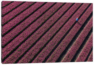 Aerial view of the tulip fields in North Holland, Netherlands Canvas Art Print