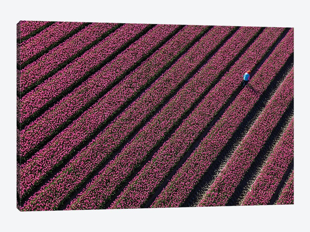 Aerial view of the tulip fields in North Holland, Netherlands by Peter Adams 1-piece Canvas Art Print