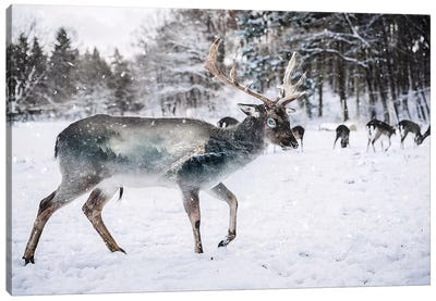 Winter Deer II Canvas Art Print