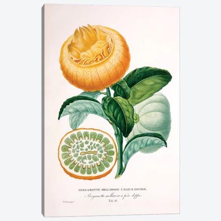 Bergamotte Mellarose A Fleur Double Canvas Print #PAP1} by Pierre-Antoine Poiteau Canvas Artwork